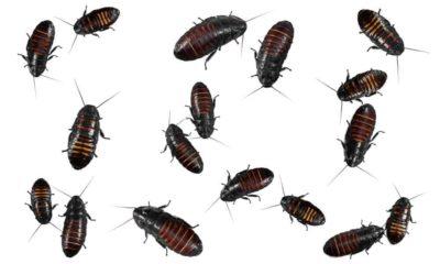 Te contamos cosas sobre las cucarachas...
